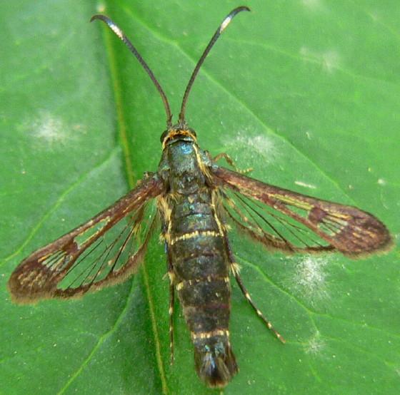 Carmenta ithacae - female