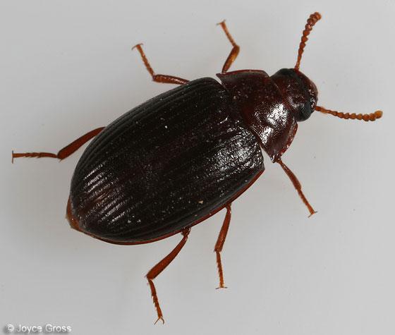 beetle - Platydema americanum