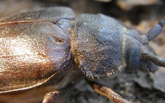 Ponderous Borer - Trichocnemis spiculatus