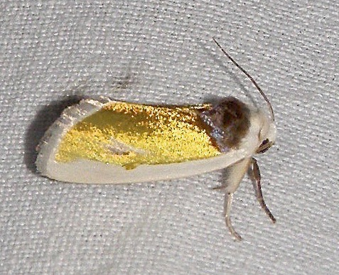 Gold and White Moth - Neumoegenia poetica