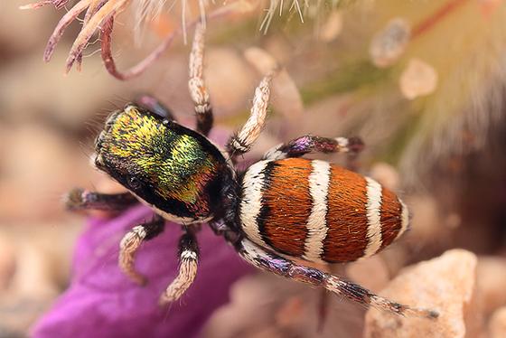 a species of habronattus? - Salticus palpalis