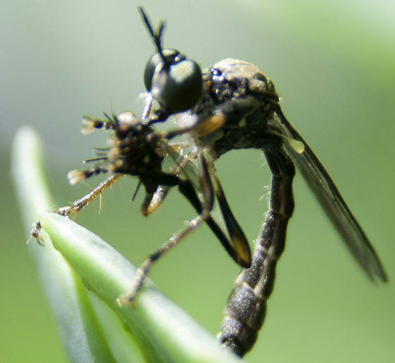 Kickstand posed Robber fly - Dioctria hyalipennis