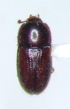 Philothermus puberulus