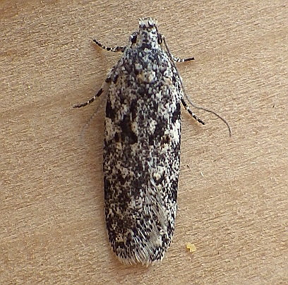 Gelechiidae: Gelechia lynceella