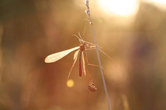Bittacus texanus - female