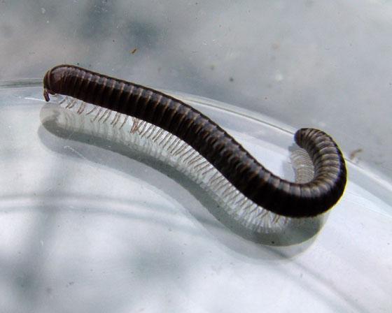 Large (for Seattle) Millipede - Bollmaniulus