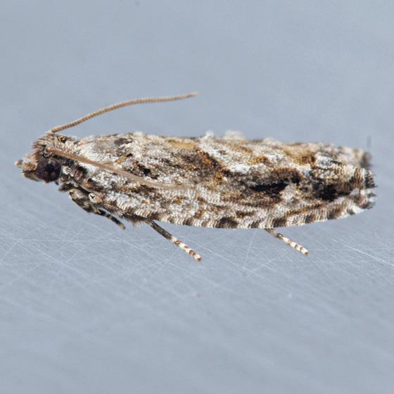 3263 Pecan Bud Moth  - Gretchena bolliana
