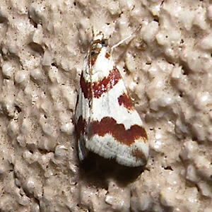Small white and red moth - Mimoschinia rufofascialis