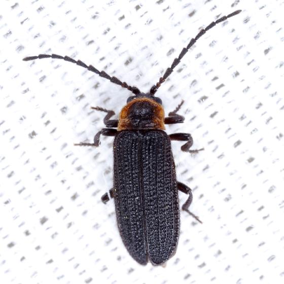 Beetle - Eropterus
