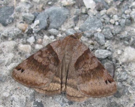 Unknown moth - Caenurgina crassiuscula