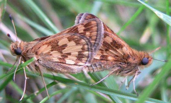 Peck's Skipper - Polites peckius - male - female