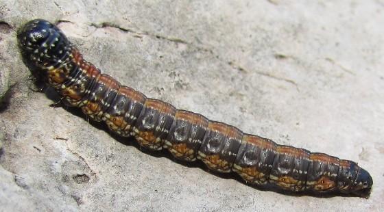 caterpillar - Omphalocera