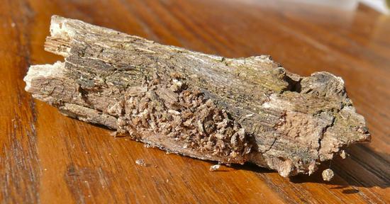 Dagger Moth - Acronicta tristis