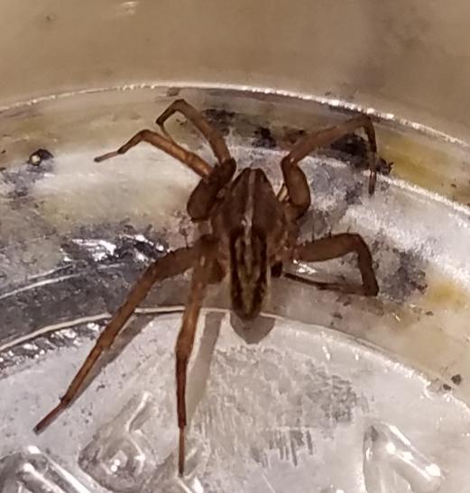 Juvenile Wolf Spider (Lycosidae)? - Trebacosa marxi