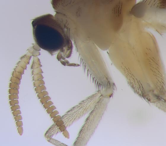Keroplatidae, Predatory Fungus Gnat, antennae & head - Proceroplatus elegans - male