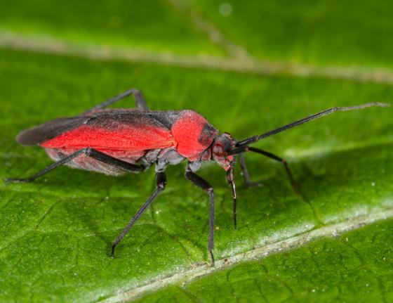 Unknown Plant Bug - Lopidea