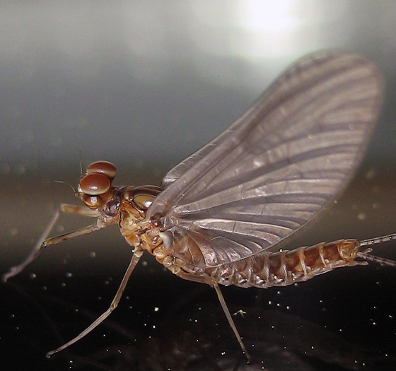Cloeon dipterum - male