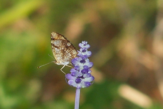Pearl Crescent? - Phyciodes tharos - female