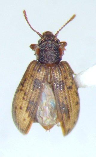 Derodontus maculatus