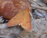 Orange/brown moth - Uresiphita reversalis