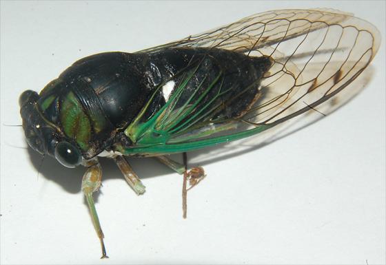 Silver-Bellied Cicada - Neotibicen tibicen