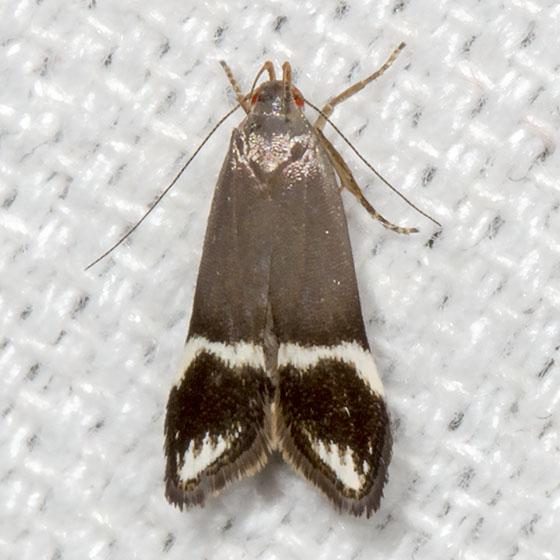 Anacampsis tristrigella - Hodges#2251 - Anacampsis tristrigella