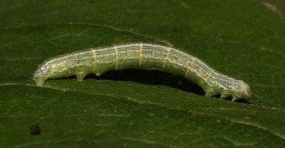 Geometridae, larva, lateral - Alsophila pometaria - female