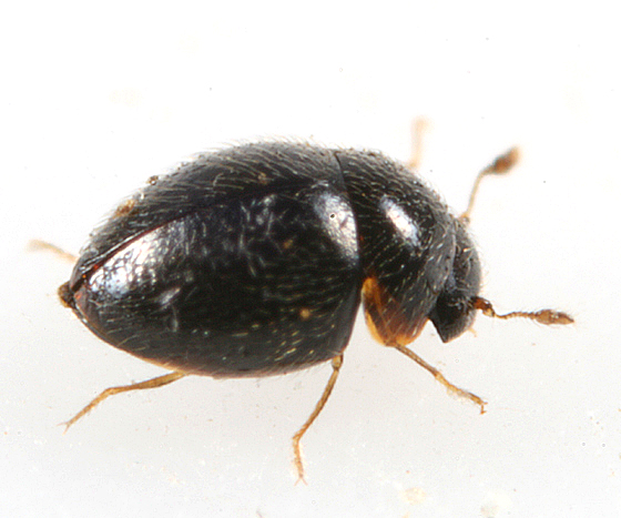 Minute Beetle - Clambus armadillo