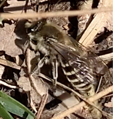Ground-nesting Bees - Colletes inaequalis