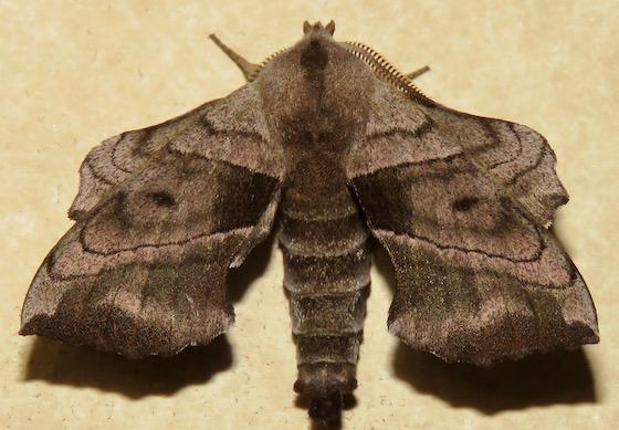 Walnut Sphinx - Hodges#7827 - Amorpha juglandis - male
