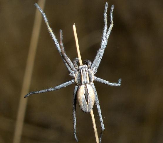 Crab on a stick - Thanatus - male