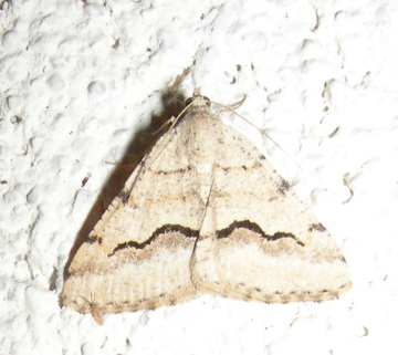 Another Digrammia sp ? - Digrammia