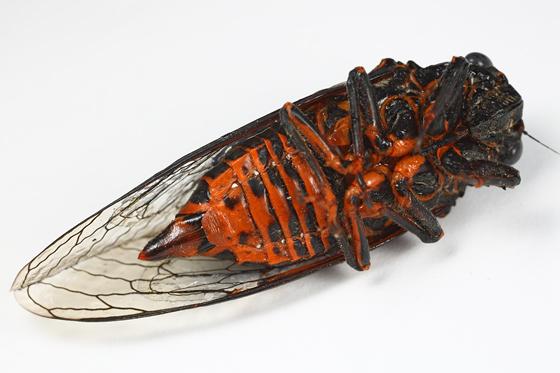 cicada - Okanagana tristis