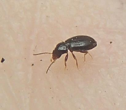 Tiny Beetle - Polyderis laeva
