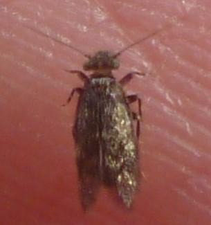 Lepidopsocidae - Echmepteryx hageni