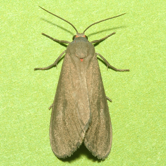 Moth - Euchaetes perlevis - male