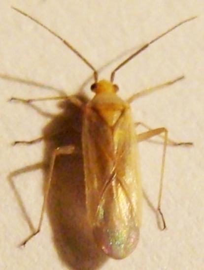 Mirid Bug - Orthotylini