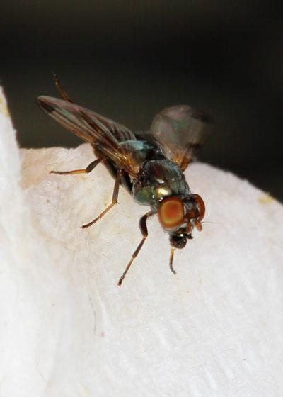 unknown Fly - Euxesta notata