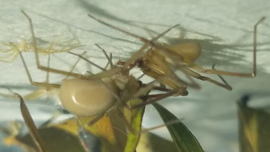 Loxosceles blanda - male - female