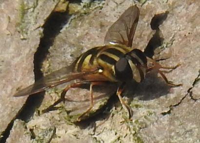 Ontario - Syrphidae ? - Helophilus fasciatus