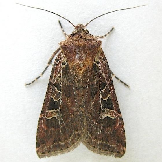 Divergent Dart Moth - Euxoa divergens