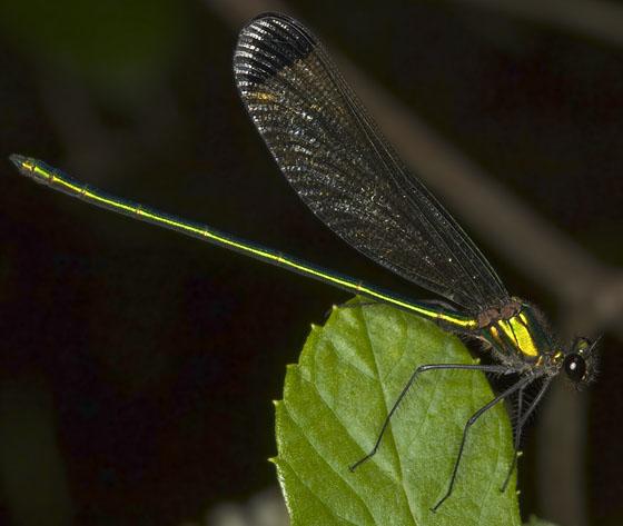 Calopteryx 2625 - Calopteryx dimidiata - male