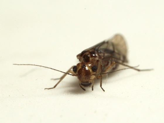 Blastopsocus johnstoni Mockford - Blastopsocus johnstoni - female
