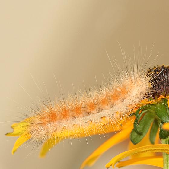 White hairy caterpillar turns orange day 8 - Spilosoma virginica