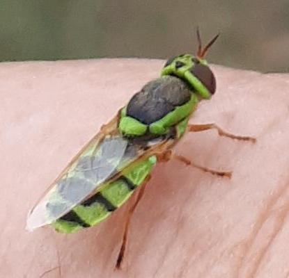 Soldier Fly? - Odontomyia cincta