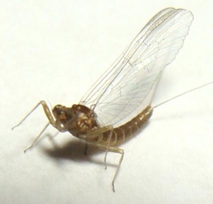 Small Minnow Mayfly - Acentrella - female