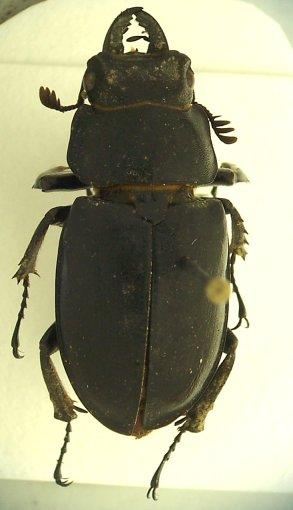 Stag beetle - Lucanus placidus