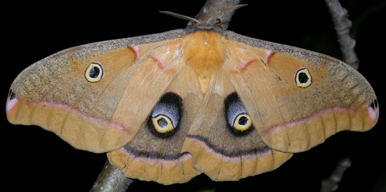 polyphemus moth - Antheraea polyphemus - female