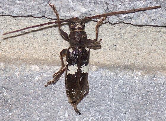 Enaphalodes taeniatus (LeConte) - Enaphalodes taeniatus