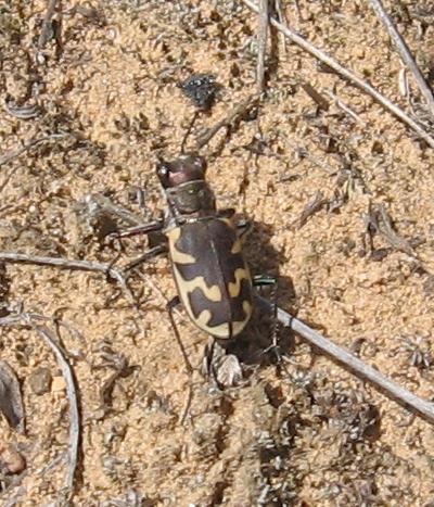 Large Tiger Beetle - Cicindela formosa